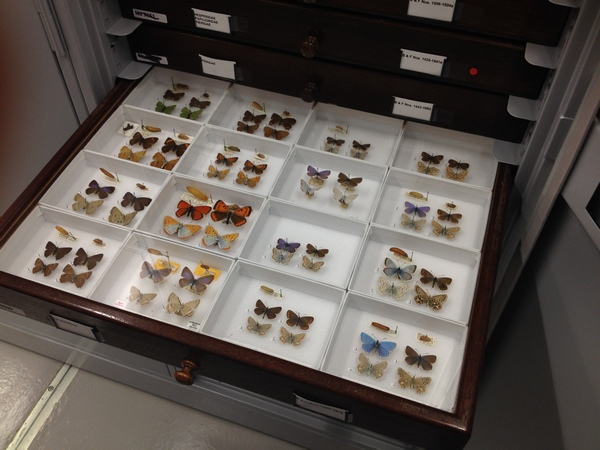 Lepidoptera specimens, Natural History Museum