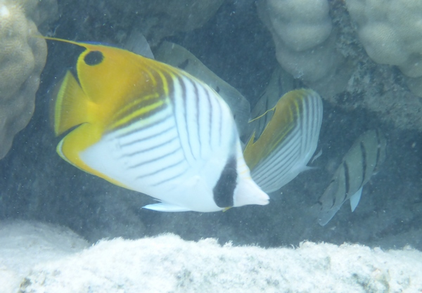 Threadfin butterfly fish, Rarotonga lagoon