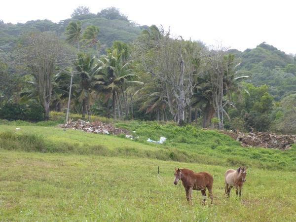 Horses grazing, Rarotonga