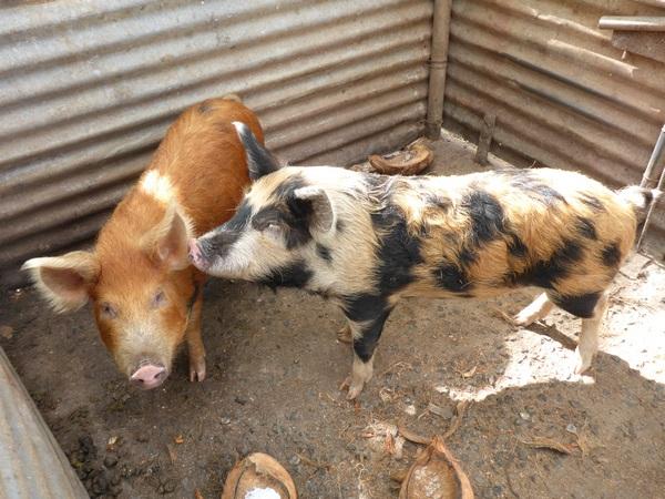 Piglets on Rarotonga