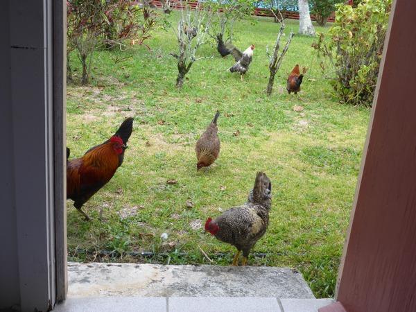 Chickens at Vaikoa, Aitutaki