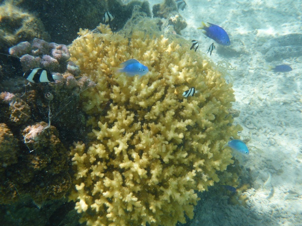 Blue devil damselfish and humbug damsels in Vaikoa lagoon, Aitutaki