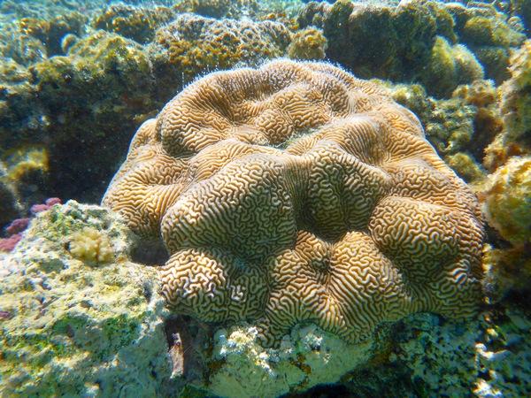 Brain coral, Vaikoa lagoon, Aitutaki