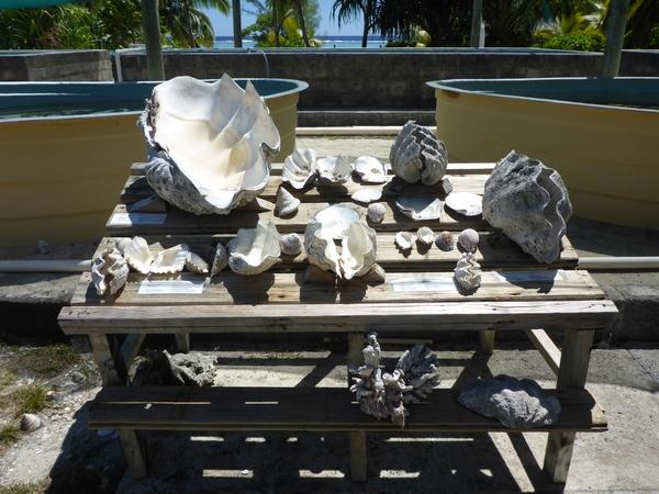 Examples of sea shells, Aitutaki Marine Research Centre