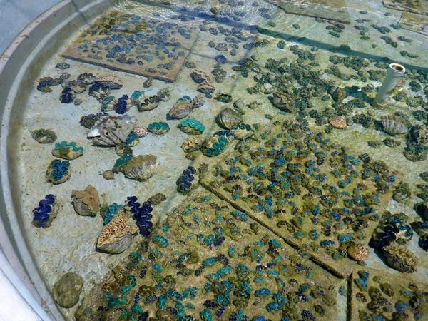 Tridacna maxima clams in breeding tank