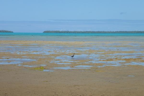 Vaipae shore with reef heron, Aitutaki