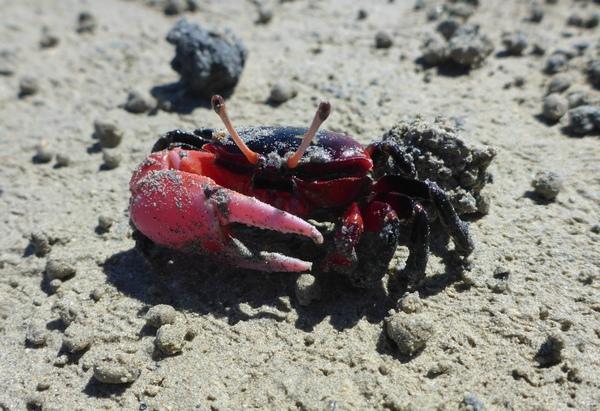 Mangrove fiddler crab (Uca crassipes) at Vaipae, Aitutaki