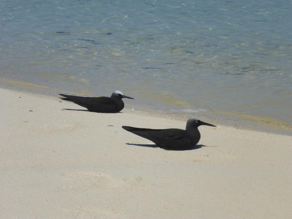 Black noddies, Maina sandbar, Aitutaki