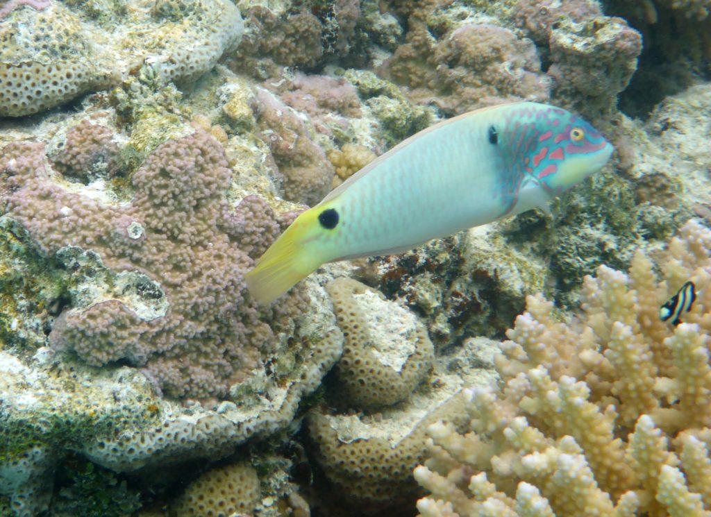 Small wrasse species, Aitutaki lagoon