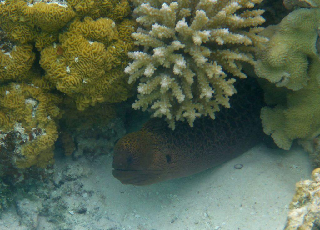 Giant moray eel (Gymnothorax javanicus), Aitutaki lagoon
