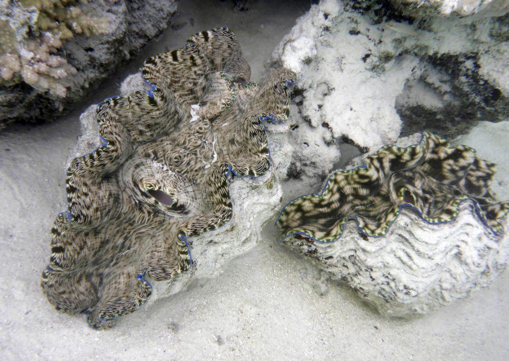 Giant clams (Tridacna gigas), Aitutaki lagoon